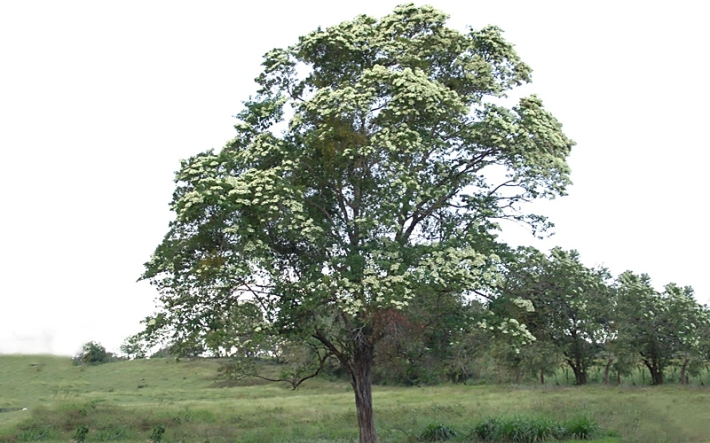 arbol-nacional-de-nicaragua