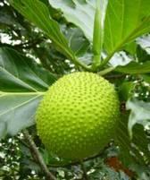 artocarpus-altilis-arbol-pan
